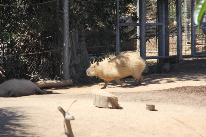 最大的啮齿类动物