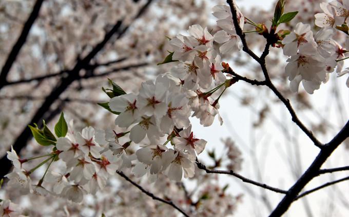 桃树,杏树,梨树,你不让我,我不让你,都开满了花赶趟.
