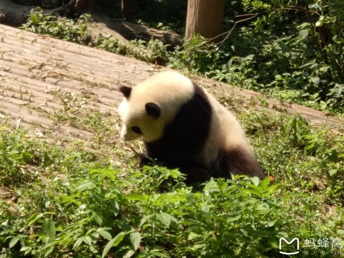 这里的大熊猫懒懒的,躺着吃,生活的超级幸福,要说当个熊猫也是不错的