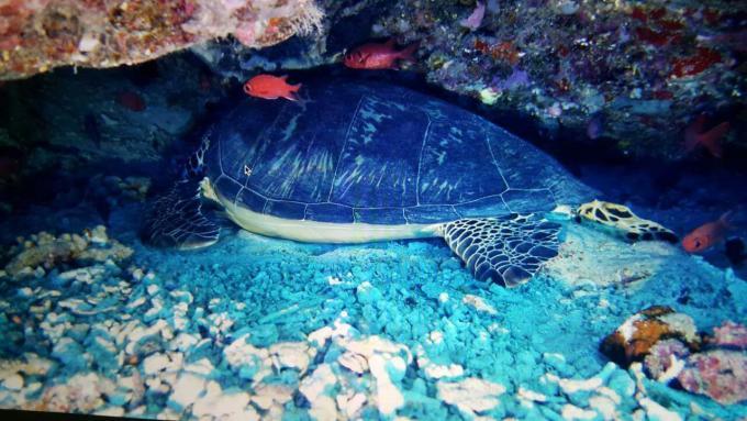 --> 蓝碧之所以出名就是因为这里是世界上最好的水下微距摄影天堂,这里几乎可以找到世界上任何神奇的小生物。很多水下摄影大师都把蓝碧作为自己的最爱,每年如果不来这里一次,就会觉得缺少点什么。 蓝碧号称是 muck Mecca(垃圾潜水的麦加),又有另外一个说法,如果有什么海底的微距生物,在蓝碧找不到的话,那么这种生物一定是绝种了。蓝碧海峡是个非常有趣的潜水区域,在这里潜水,主要是在垃圾场一样的条件下,去寻找那些非常有趣、奇特的小东西,如:豆丁海马、火焰墨鱼、娃娃鱼、泗水玫瑰、叶鱼、绒毛娃娃鱼、天蝎鱼、海