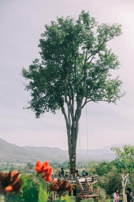 高耸入天的大树秋千;